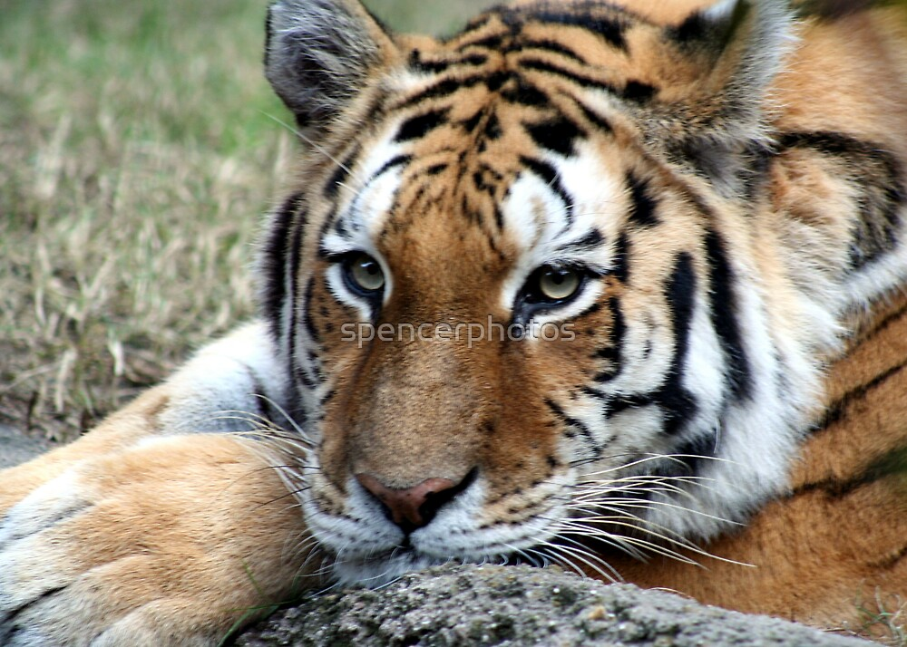 Tiger by spencerphotos