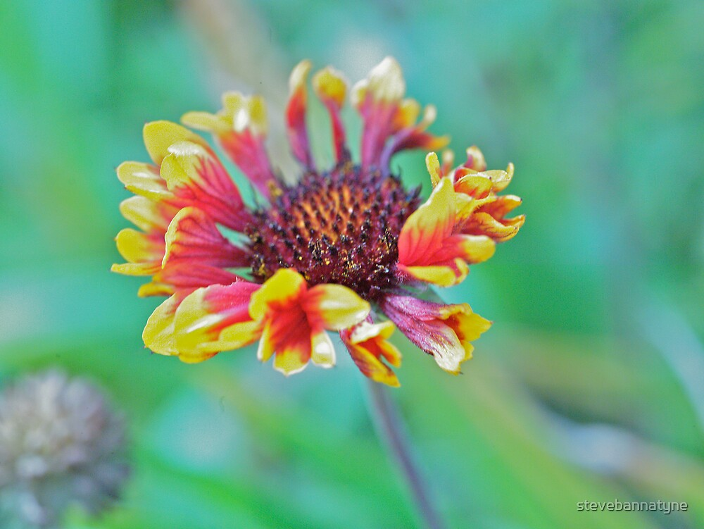 Red flower by stevebannatyne