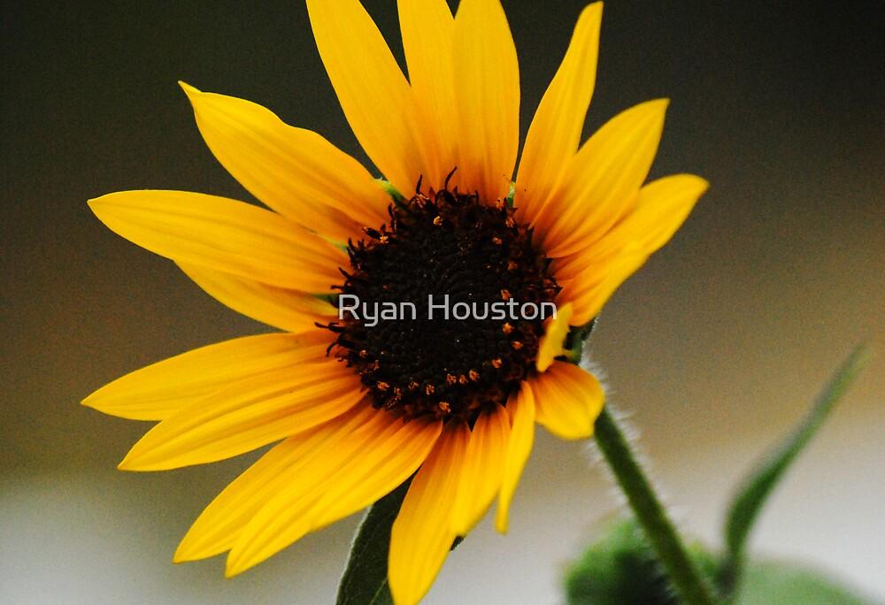 Summer Sunflower by Ryan Houston