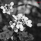 Macro flowers in b&w by Lanii  Douglas
