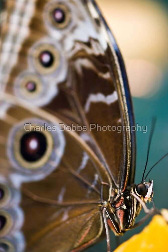 Painted Lady by Charles Dobbs Photography