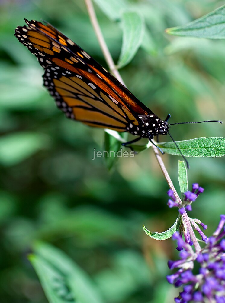 Monarch Resting by jenndes