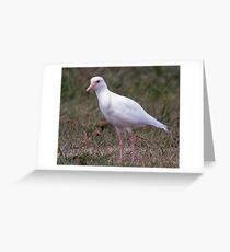 Albino Masked Lapwing Greeting Card