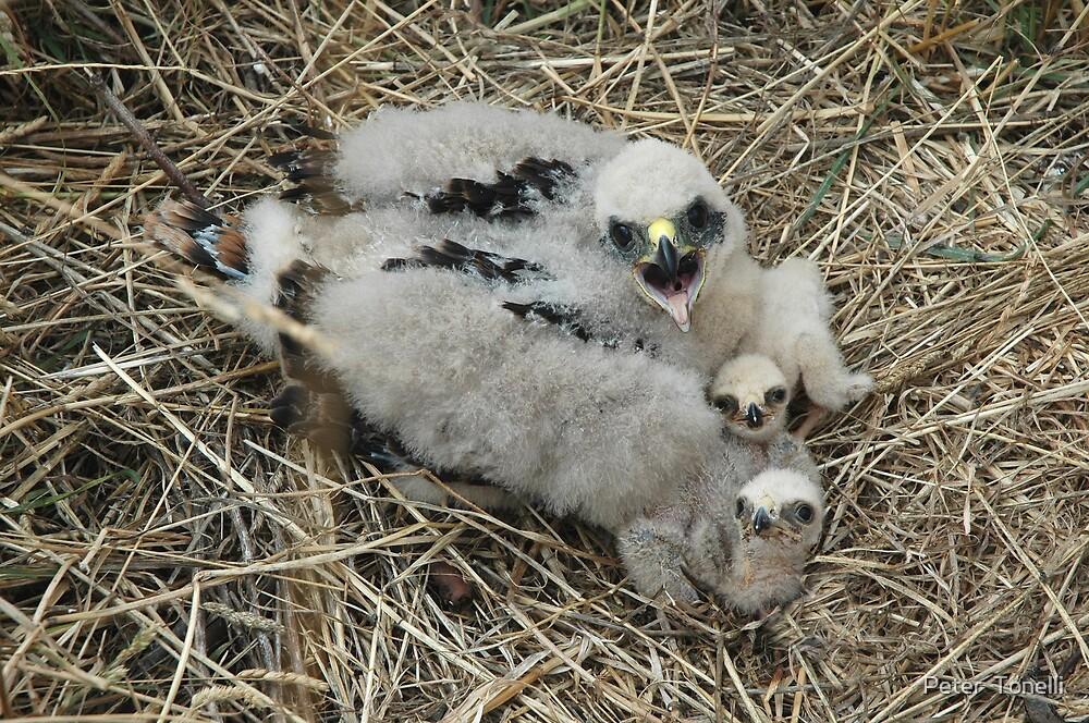 3 Marsh Harrier Chicks by Peter  Tonelli
