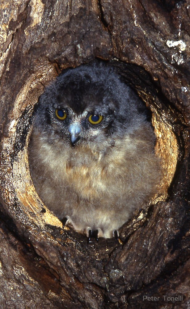 Baby Southern Boobook owl by Peter  Tonelli