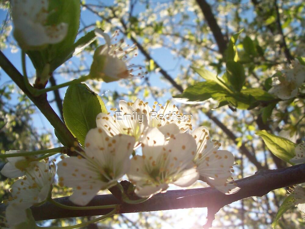 Blood Plum Tree In Flower. by Emily  Redfern