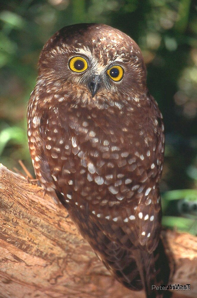 Adult Southern Boobook owl by Peter  Tonelli