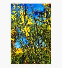 Broom Shrubs under blue sky Photographic Print