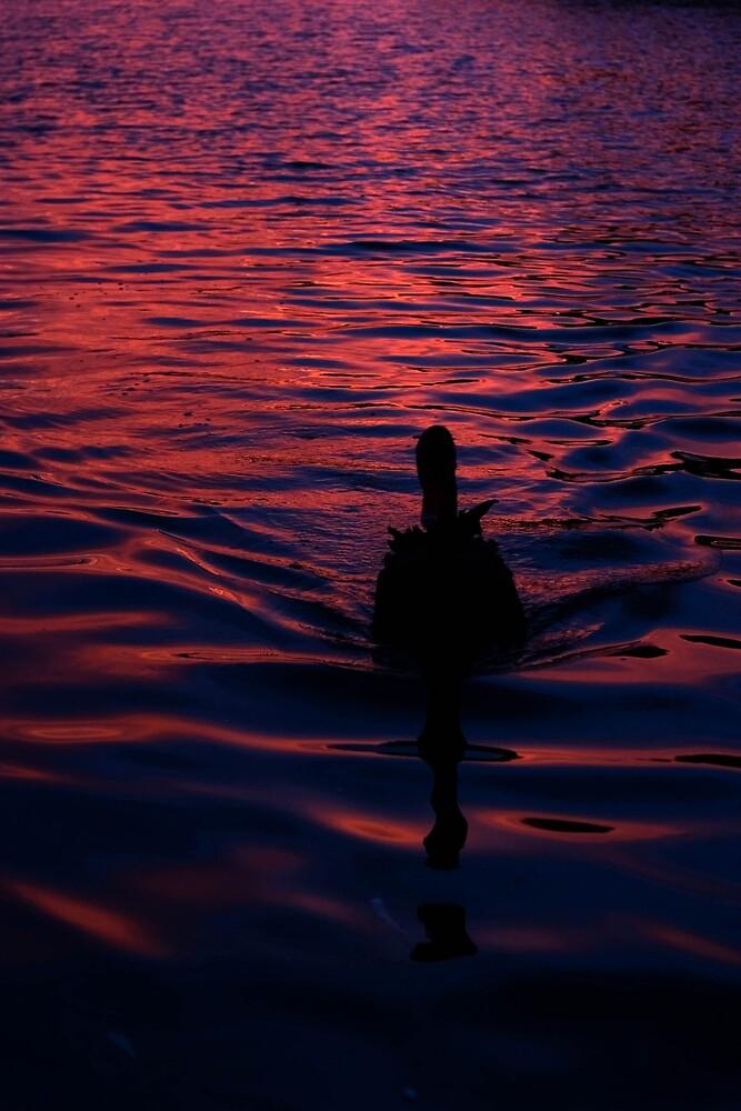 Sunset Swan by Phil Bain
