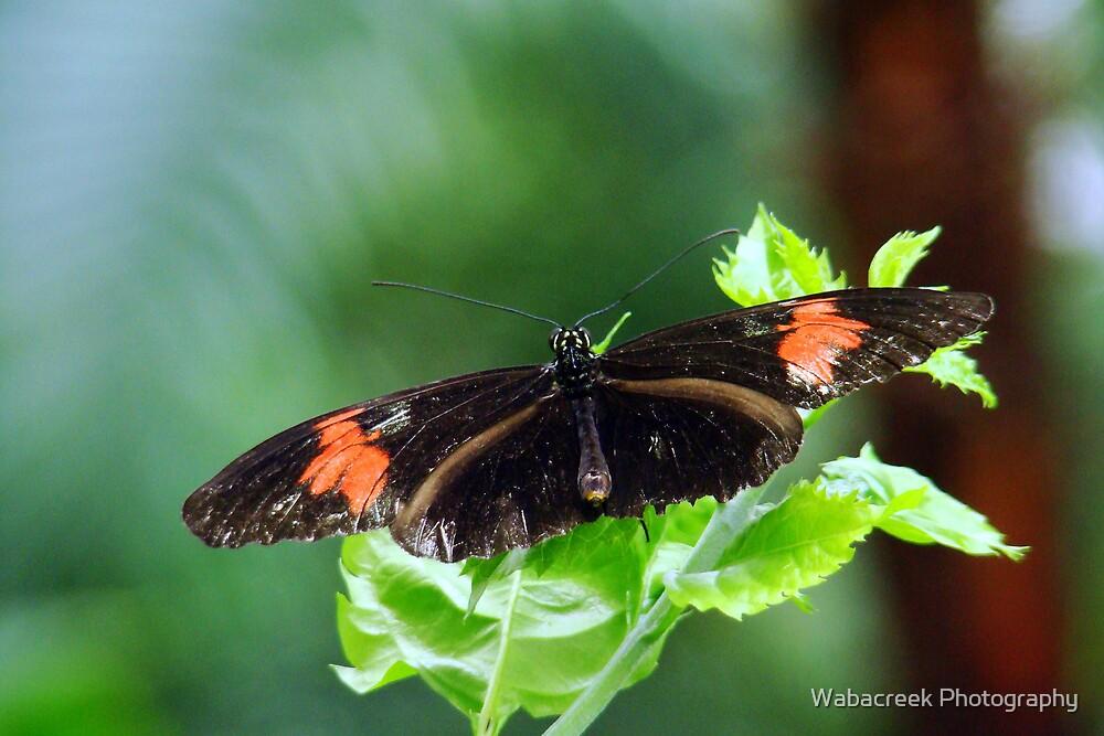 Butterfly 4 by Jocelyne Phillips