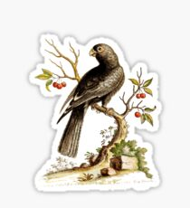 Black Parrot - Bird HD vintage image from encyclopedia number 13 Sticker