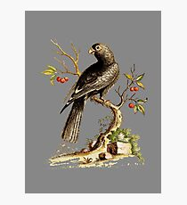 Black Parrot - Bird HD vintage image from encyclopedia number 13 Photographic Print