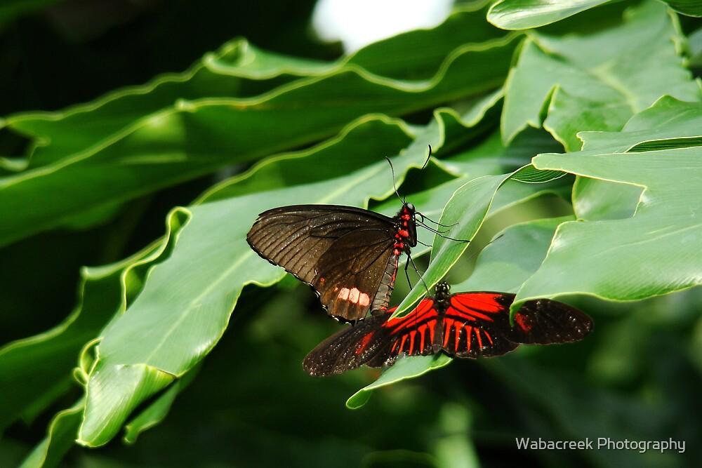 Playing butterflies by Jocelyne Phillips