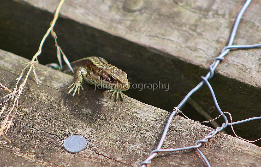 The Common lizard by jdmphotography