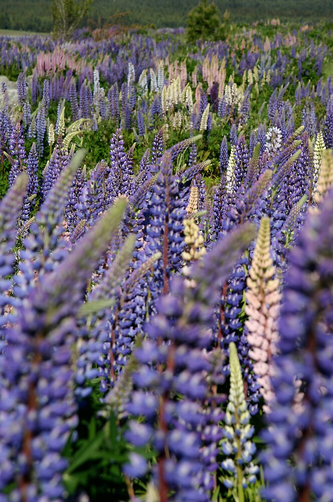 Lupine Field by Banni Bunting