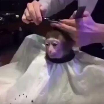 Monkey getting a haircut. by grufalo
