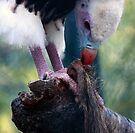White-headed Vulture  by Anne-Marie Bokslag