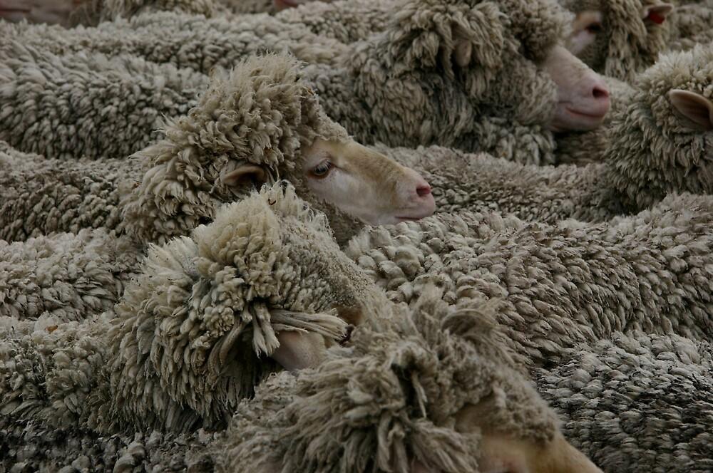 NZ Sheep by Banni Bunting