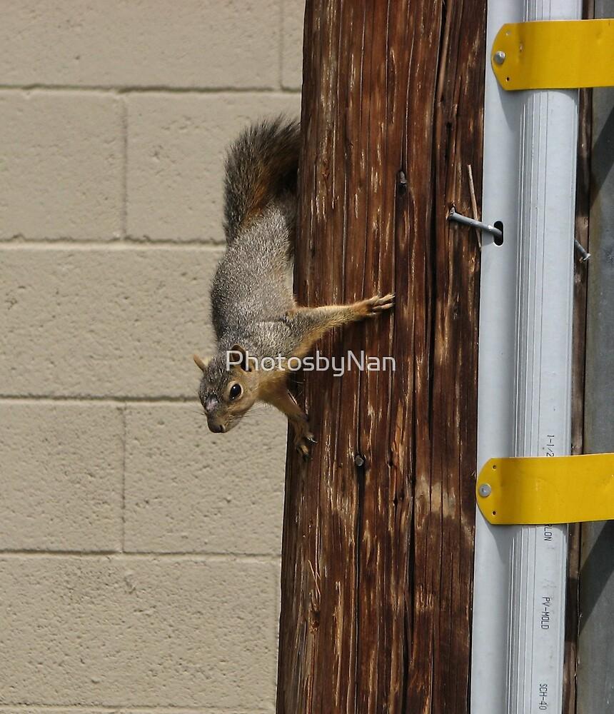 City Squirrel by PhotosbyNan