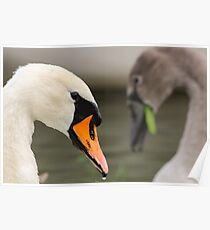 Mute swan with young Poster
