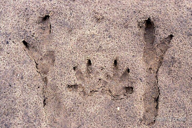 Great Grey Kangaroo 'punting' tracks by Peter  Tonelli