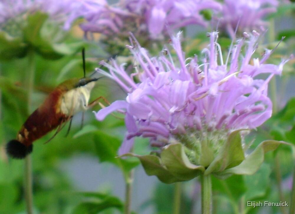 Humming Bird Moth by Elijah Fenwick