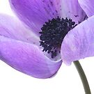 Anemone (mauve) by picketty