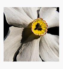 Poet's Daffodil Photographic Print