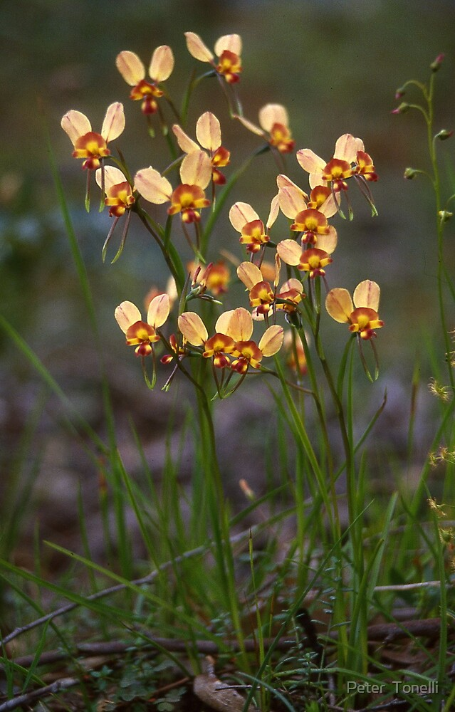 Diuris orientis - Wallflower donkey orchid by Peter  Tonelli
