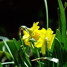 Spring's Trumpet by Alison Howson