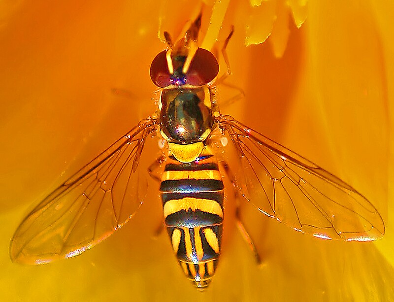 Hoverfly by Rickcalif