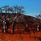 Boab trees at Derby by myraj