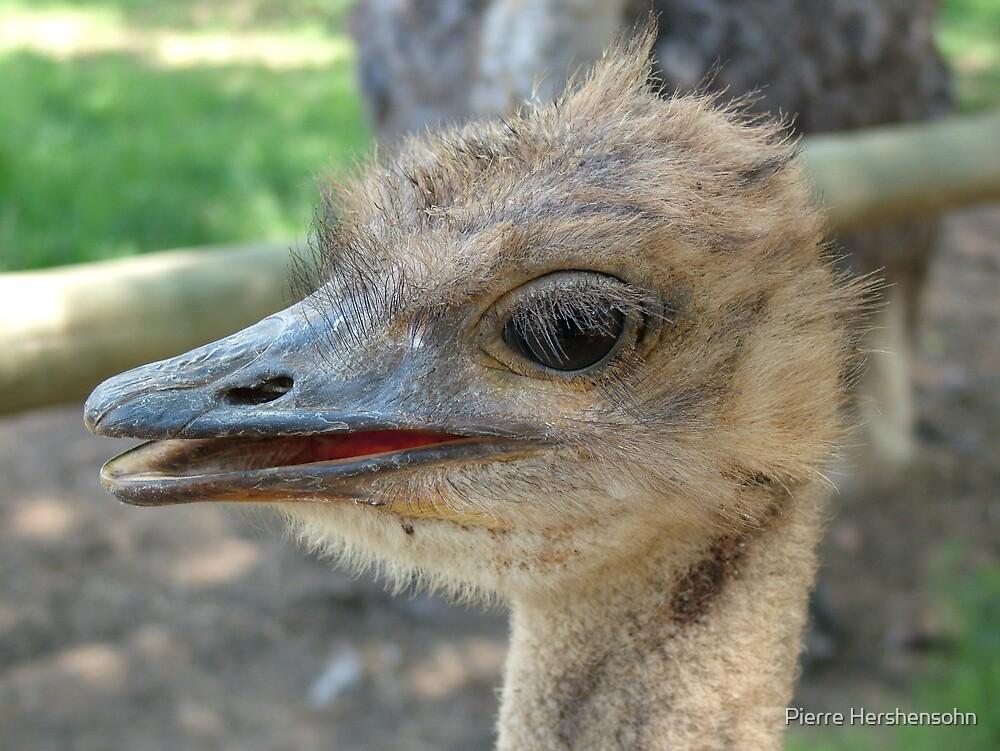 Ostrich, Lion park, Gauteng by Pierre Hershensohn