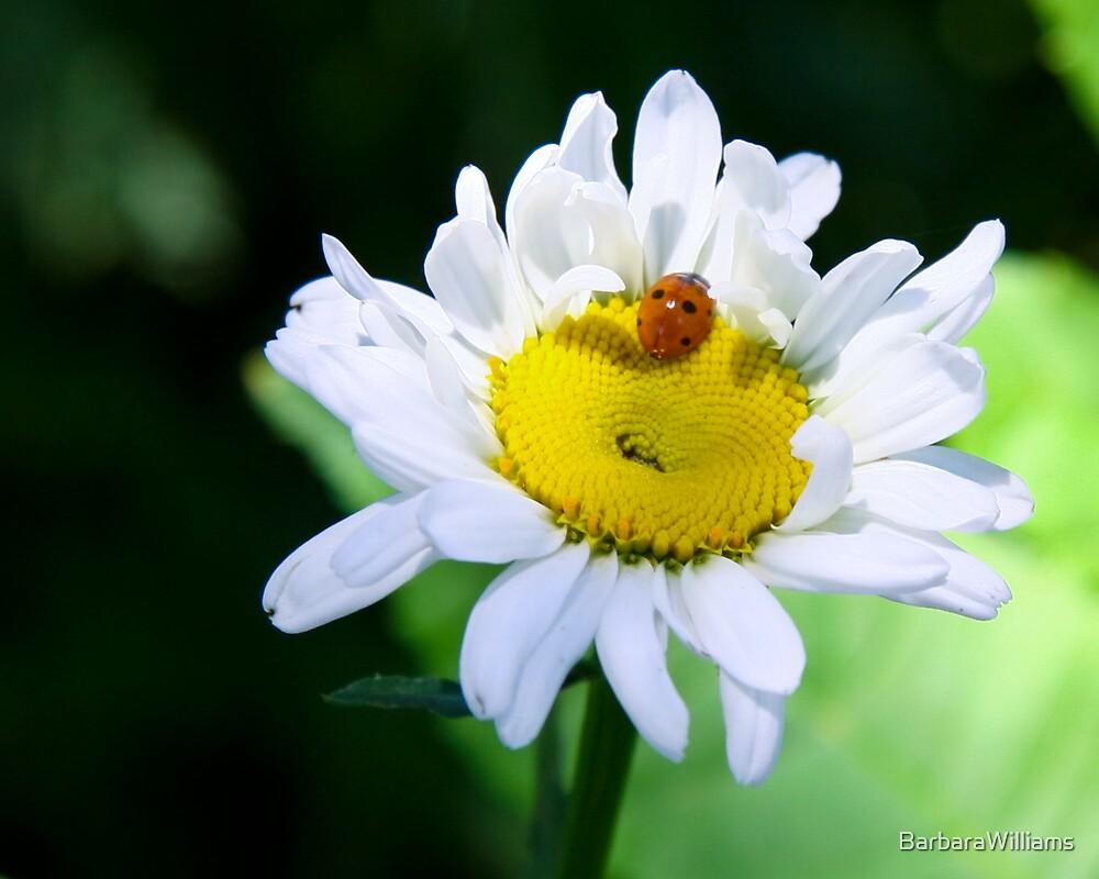 Daisy by BarbaraWilliams