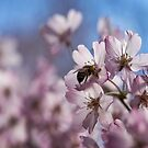 Cherry Blossom Bee by yolanda