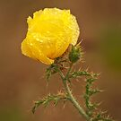 Yellow Prickly Poppy by Richard G Witham