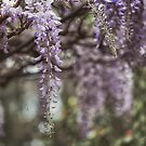 Beautiful Wisteria by yolanda