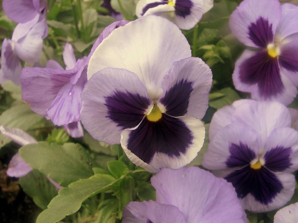 Violets by Robert Jenner