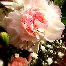 Carnation by karenlynda