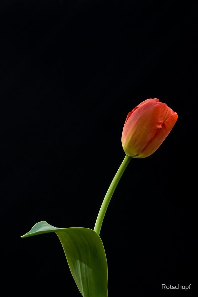 Tulip by Rotschopf