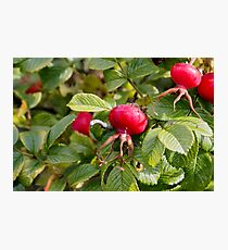 Red ripe wild rose hips on a background of green foliage Photographic Print