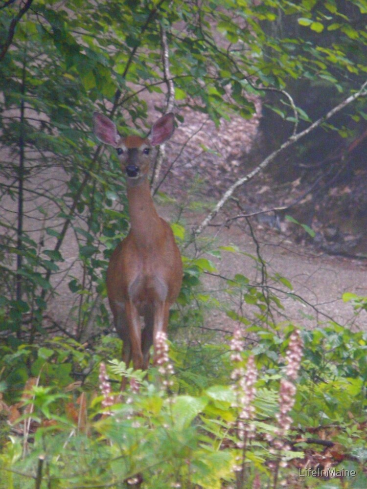 Doe in early morning by LifeInMaine