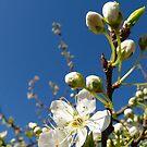 Blossom by Northcote Community  Gardens