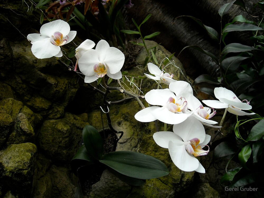 White Orchids by Gerel Gruber