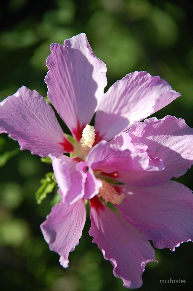 Rose of Sharon by mwfoster