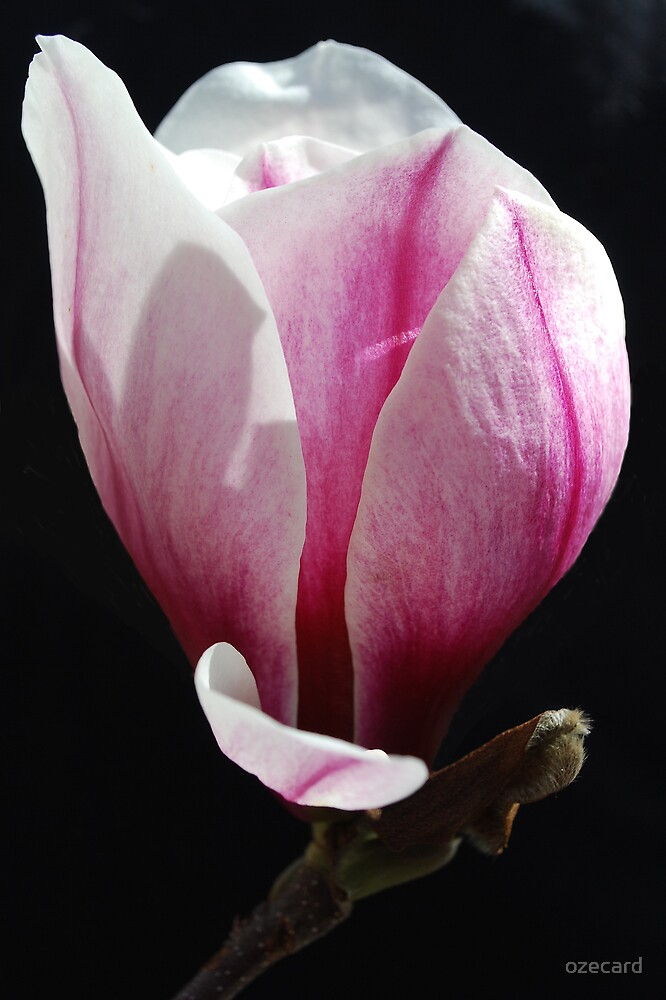 Magnolia by ozecard