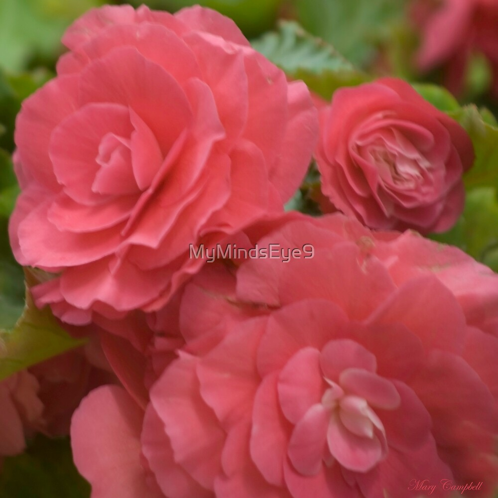 Begonia by Mary Campbell