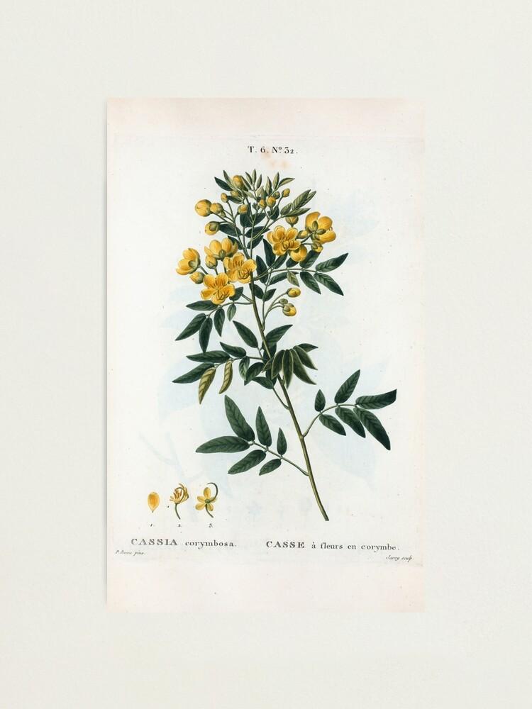 Alternate view of Traité des Arbres et Arbustes 0054 Cassia corymbosa Casse à fleurs en corymbe Photographic Print