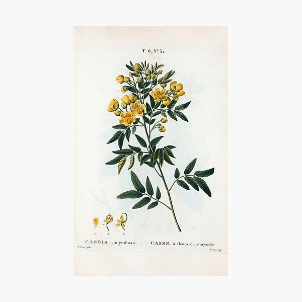 Traité des Arbres et Arbustes 0054 Cassia corymbosa Casse à fleurs en corymbe Photographic Print