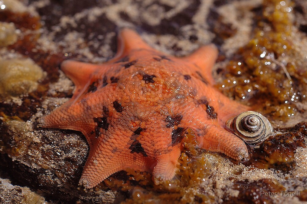 Sea star   by Peter  Tonelli